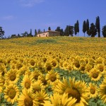 Estate in Toscana girasoli